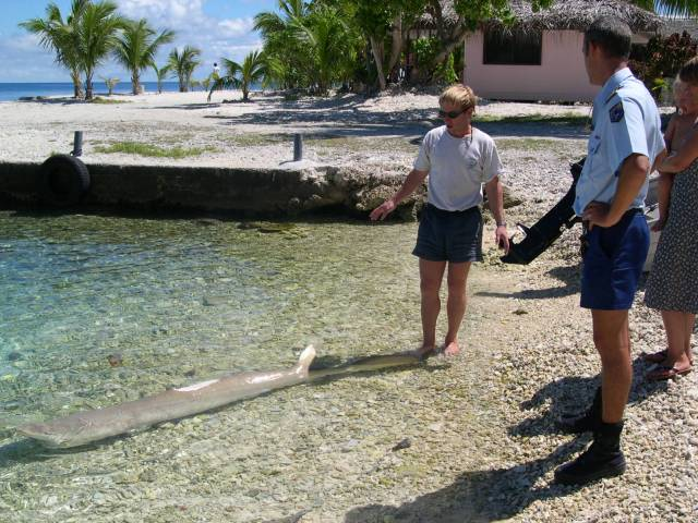 Yves Lefèvre a rapporté au rivage le requin citron mutilé, Lionel Cognet, de la brigade de gendarmerie de Rangiroa ne peut que constater, pour l'instant…
