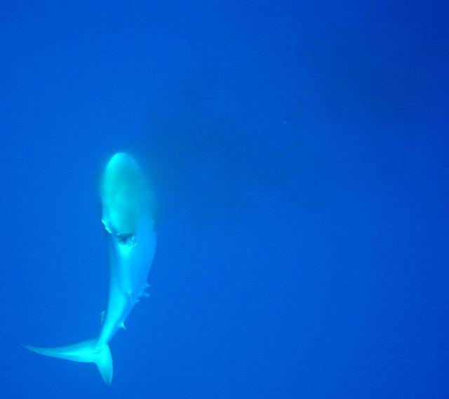 La nageoire caudale s'agite faiblement, le requin n'est pas encore mort.