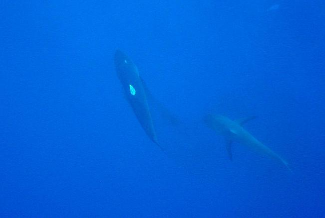 Attirés par le sang, les requins gris montent vers l'animal agonisant.