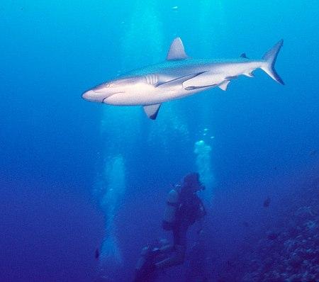 rangi-requin-gris